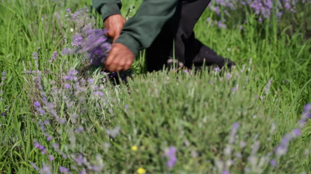 lavender. essential oil production season is now. harvesting the lavender. - picking up stock videos & royalty-free footage