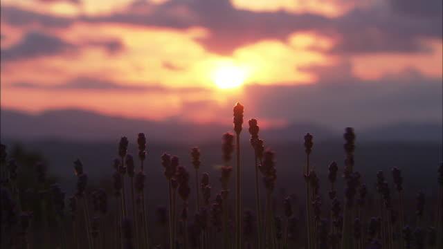 Lavender Field At Dusk, Hokkaido, Japan