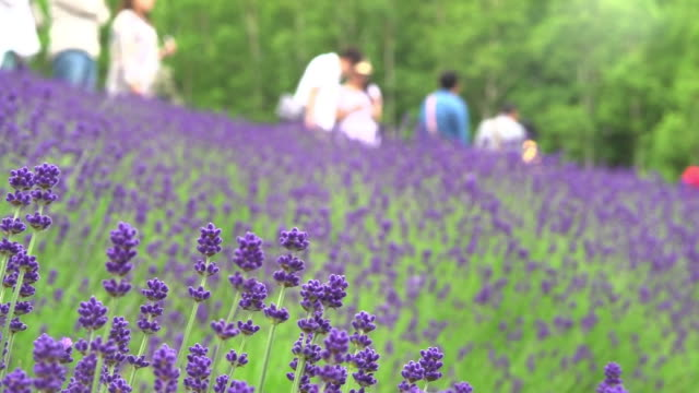 Lavender Field At Farm Tomita, Hokkaido, Japan