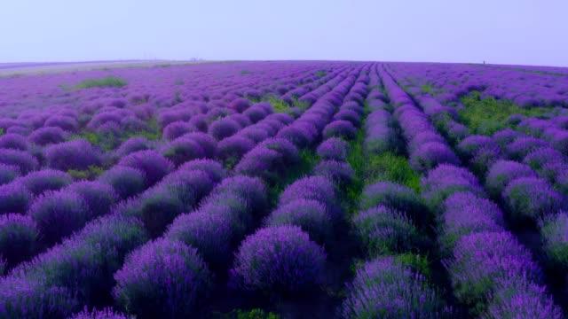 lavender field in bloom - aerial view - herbal medicine stock videos & royalty-free footage