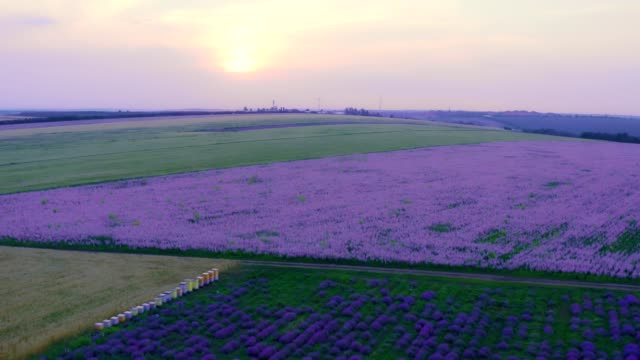 lavender field in bloom at sunset - aerial view - meadow stock videos & royalty-free footage