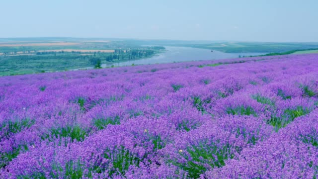 vídeos de stock e filmes b-roll de lavender field in bloom with flying butterflies on a hill above the river - purple