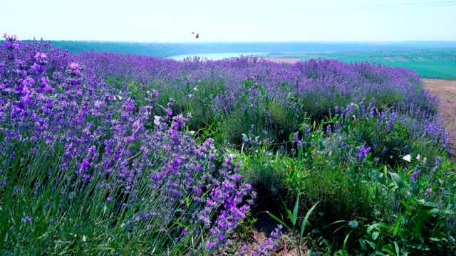 lavender field in bloom with flying butterflies on a hill near the river - lavender stock videos & royalty-free footage