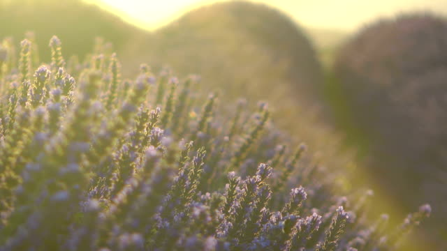 Lavender field in France at sunset