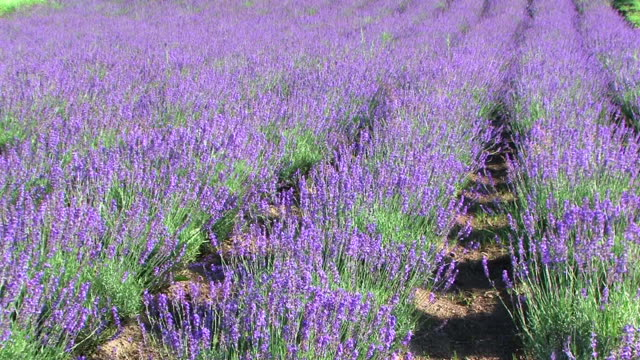 hd, ntsc: lavender field (video) - lavender stock videos & royalty-free footage