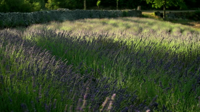 lavender field - aromatherapy stock videos & royalty-free footage