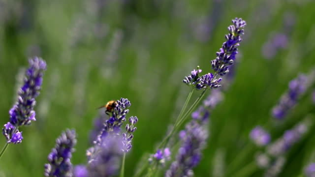 lavender field - lavender stock videos & royalty-free footage