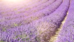 lavender field (dolly shot)