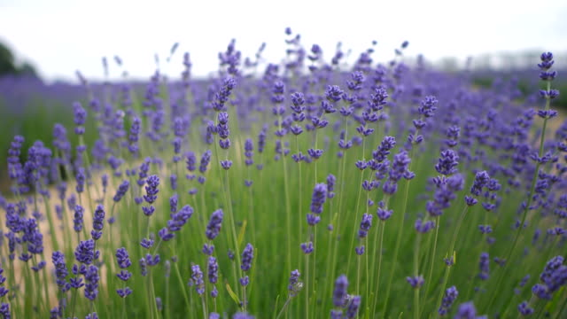 lavender field - erba aromatica video stock e b–roll