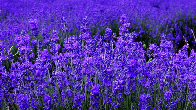 lavender field - blossom stock videos & royalty-free footage