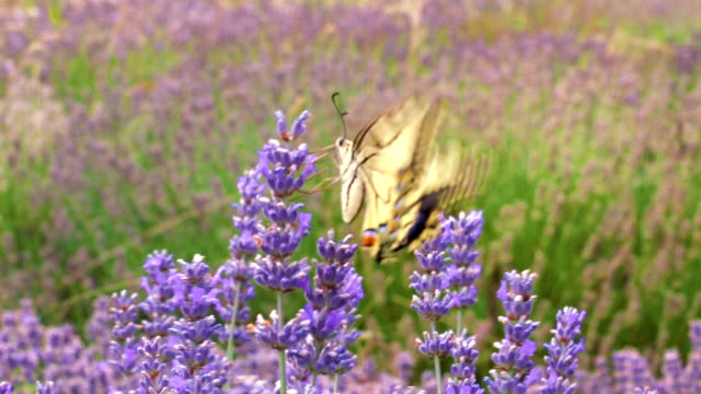 lavender field - lepidottero video stock e b–roll