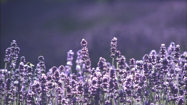 Lavender Fields At Farm Tomita, Hokkaido, Japan