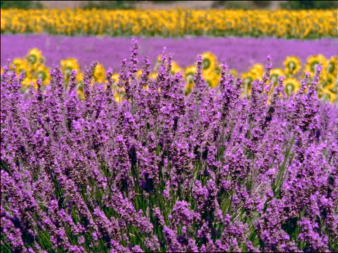 pan lavender fields blowing in wind with sunflowers in background / southern france - lavender stock videos & royalty-free footage