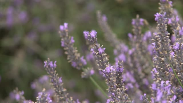 surrey banstead mayfield lavender ext general views of lavender in field with bees - surrey england stock videos & royalty-free footage
