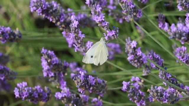 lavender fields in guadalajara - spain - symmetry stock videos & royalty-free footage
