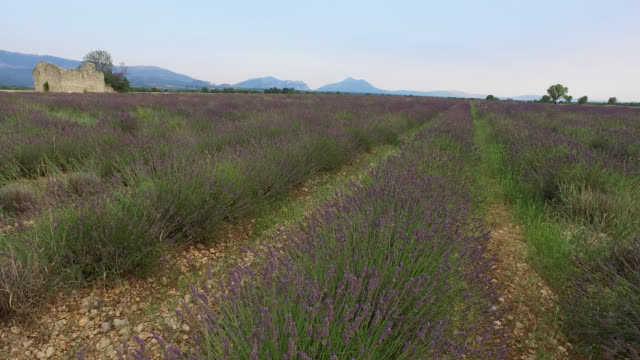 lavender fields in summer with a ruined house, provence, france - ruined stock videos & royalty-free footage