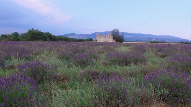 vídeos y material grabado en eventos de stock de lavender fields in summer with a ruined house, provence, france - toma en travelling