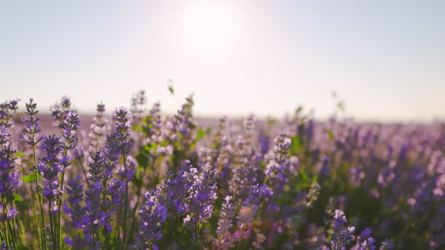 lavender fields - botany stock videos & royalty-free footage