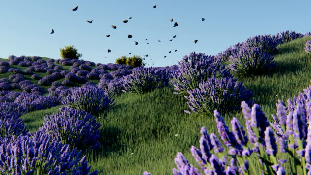 lavender fields - farfalla video stock e b–roll