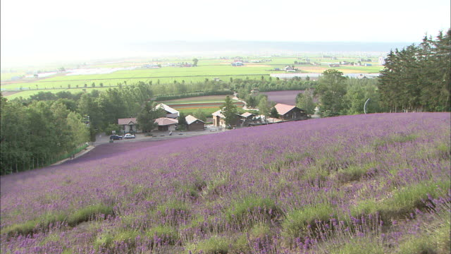 vídeos de stock e filmes b-roll de lavender fields with farmland in background - caule de planta