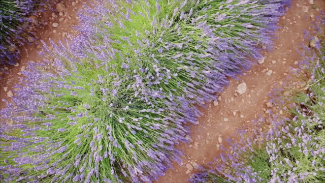 lavender flower field in provence, france - lavender stock videos & royalty-free footage
