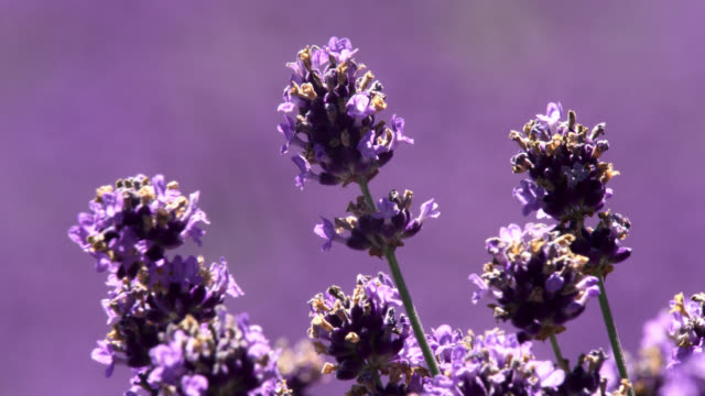"lavender flower, japan. - ""bbc natural history"" video stock e b–roll"