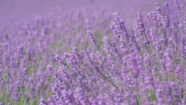 lavender flower swinging with breeze - 植物 ラベンダー点の映像素材/bロール