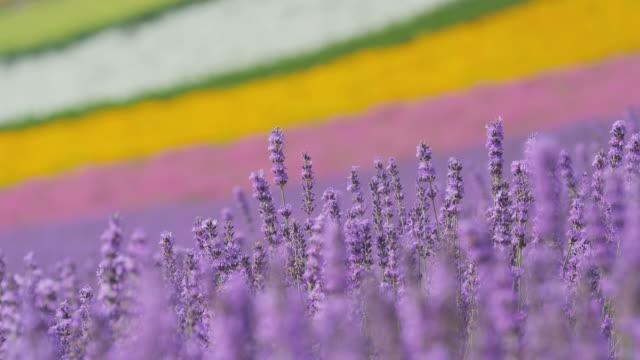 lavender flower swinging with breeze - hokkaido stock videos & royalty-free footage