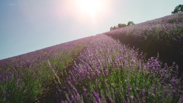 lavender flowers blooming in farm during sunrise - lavender stock videos & royalty-free footage