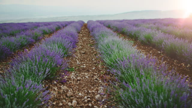 lavender flowers blooming on field - carrellata video stock e b–roll