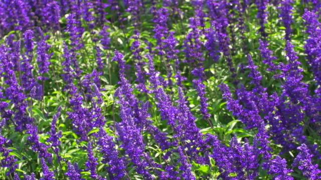 lavender flowers blossom - lavender stock videos & royalty-free footage