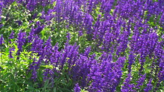 vidéos et rushes de fleur de fleurs de lavande - parterre de fleurs
