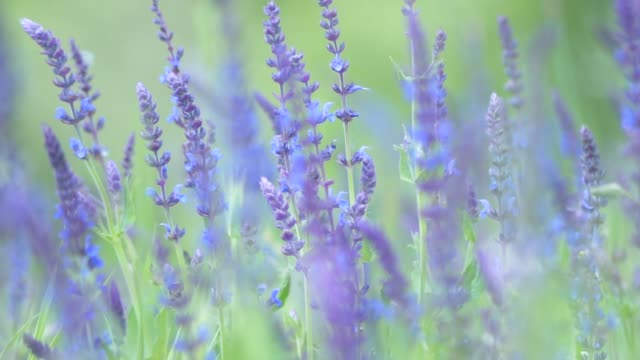 Lavender flowers gently moving in the summer breeze