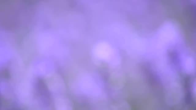 lavendel in een weide, close-up