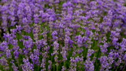 Lavender flowers in field swaying in the wind. Lavender flowering season. Close-Up. Beautiful blooming flowers used for aromatherapy. Calm background. Purple nature. Lavender oil for natural medicine.