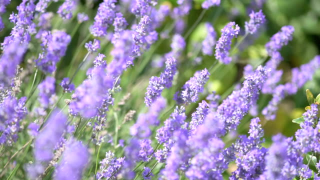 lavender flowers - lavender stock videos & royalty-free footage