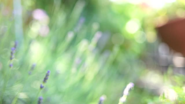 lavender in domestic garden - yuko yamada stock videos & royalty-free footage