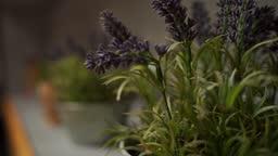 Lavender in pots indoors