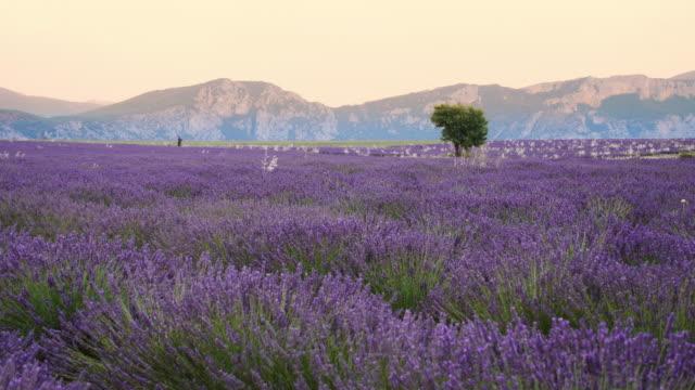 DS lavande en Provence