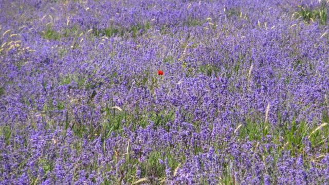 Lavender meadow in sunlight