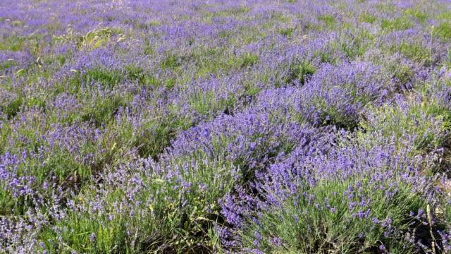 Lavendel Wiese in der Sonne