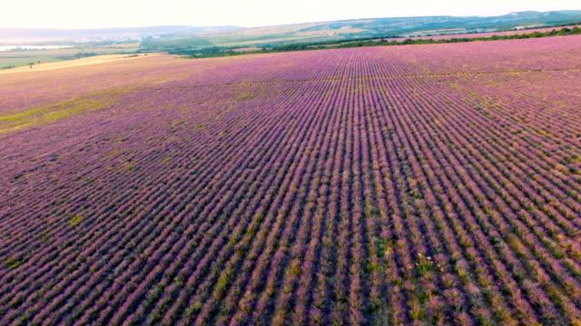 Lavendel plantages bij zonsondergang, luchtfoto video