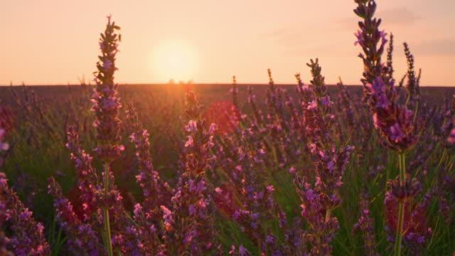 vidéos et rushes de cu plantes de lavande au coucher du soleil - crépuscule