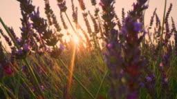 LA CU Lavender plants at sunset