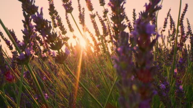 la cu lavender plants at sunset - provence alpes cote d'azur stock videos & royalty-free footage