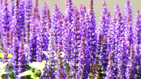 lavender - hill stock videos & royalty-free footage