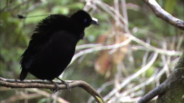 lawes' parotia (parotia lawesii) looks around and preens, papua new guinea - bird of paradise plant stock videos & royalty-free footage