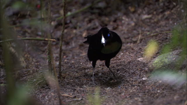 Lawes' Parotia (Parotia lawesii) performs his courtship display dance, Papua New Guinea