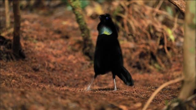 lawes's parotia (parotia lawesii) performs his courtship display dance, papua new guinea - kopf schütteln stock-videos und b-roll-filmmaterial