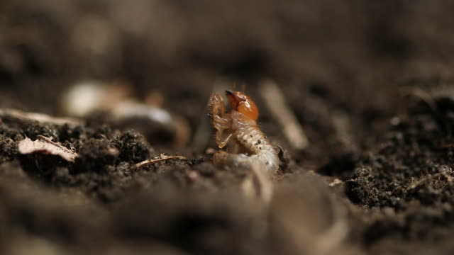 CU of lawn grubs moving in soil